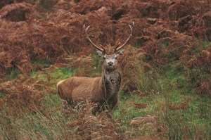 Stag in Cowal Argyll